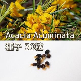 Acacia Acuminataの種子30粒(その他)