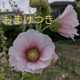 ③薄ピンク たちあおい種50個+おまけ付き (その他)