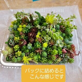 多肉植物 セダムカット苗 詰め合わせ ミニ(その他)