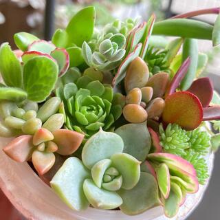 多肉植物*パステル&カラフル*カット苗(その他)