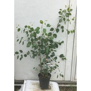 《現品》ユーカリ・ポポラス 樹高1.1m(鉢含まず)50【鉢/苗木/鉢植え】(その他)