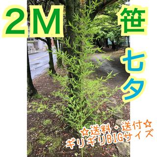 笹 2m モノ 七夕飾り【生花】笹の葉 七夕(その他)