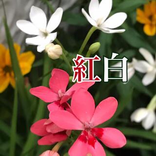 種子 ヒメヒオウギ  紅白mix(その他)