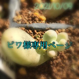 多肉 タマゴチーズ美人 葉挿し(その他)