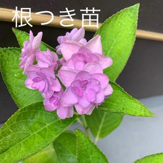 紫陽花(根付き苗)③(その他)