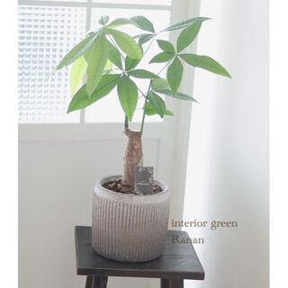 sold out❁観葉植物❁パキラ✿*(プランター)