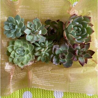 多肉植物❤️韓国苗セット❤️お得です✨✨(その他)