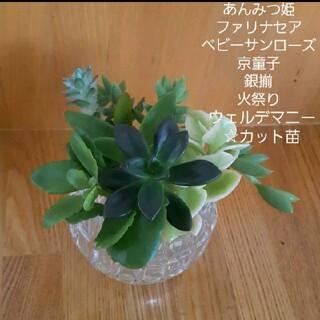 あんみつ姫☆他☆多肉植物カット苗(プランター)