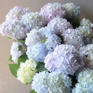 大人気 アジサイ 四季咲き つぼみ付き霧島の恵 ラベル付き(その他)