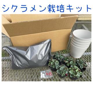 シクラメン 栽培キット 鉢植え(その他)
