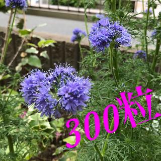 ギリアレプタンサ 花の種300粒(その他)