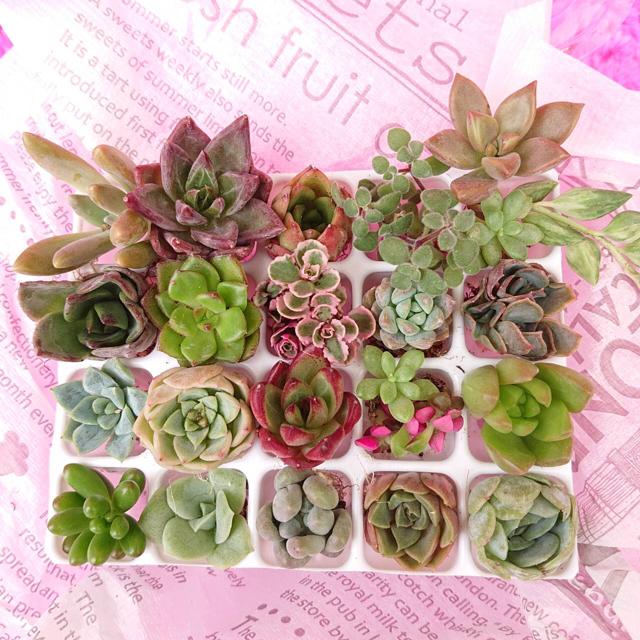 多肉植物 寄せ植えセット 20種類 ハンドメイドのフラワー/ガーデン(その他)の商品写真