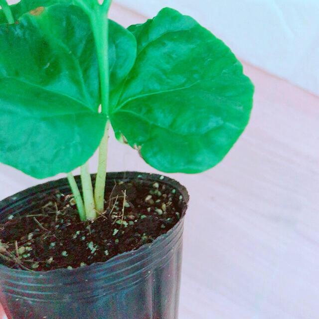 コーヒーの木 苗 ポットごと ハンドメイドのフラワー/ガーデン(その他)の商品写真