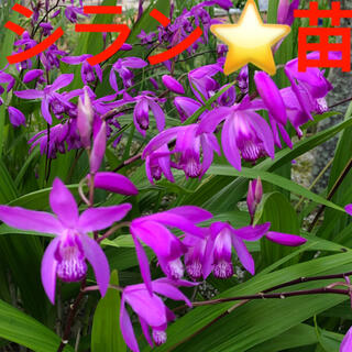 シラン 綺麗な紫 紫蘭 苗 ガーデニング 宿根草 多年草 和風庭園 外溝 植栽(ドライフラワー)