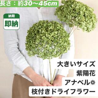 大きいサイズ【即納】アナベル ドライフラワー 紫陽花 あじさい インテリア 花(ドライフラワー)