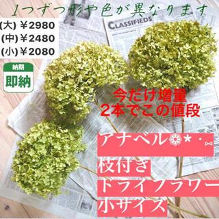 小サイズ【即納】アナベル ドライフラワー 紫陽花 あじさい インテリア 花 枝付(ドライフラワー)