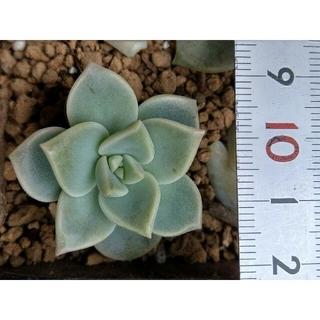 多肉植物 白牡丹 シロボタン カット苗 微根 2点(その他)
