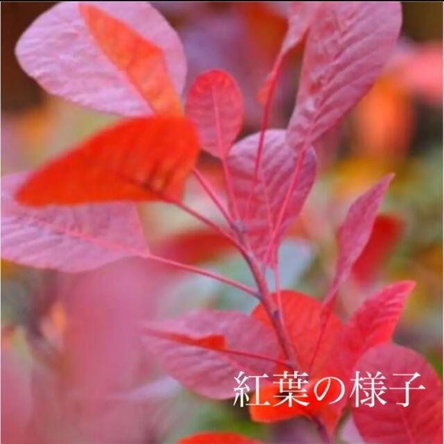 スモークツリー 苗 グレース 苗木 3.5号 ハンドメイドのフラワー/ガーデン(ドライフラワー)の商品写真