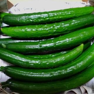 福島県産無農薬きゅうり お試し価格(野菜)