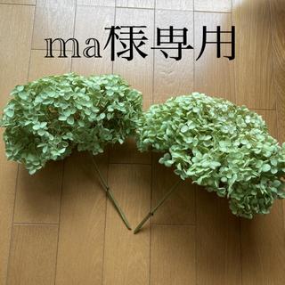 アナベル紫陽花ドライフラワー(ドライフラワー)