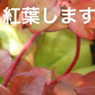 A   リシマキア リッシー 根付き苗(その他)