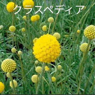 クラスペディア  20粒  花種(ドライフラワー)