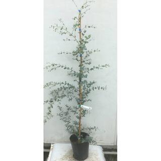 《現品》ユーカリ・グニー 樹高1.4m(鉢含まず)40【鉢/苗木/植木】(その他)