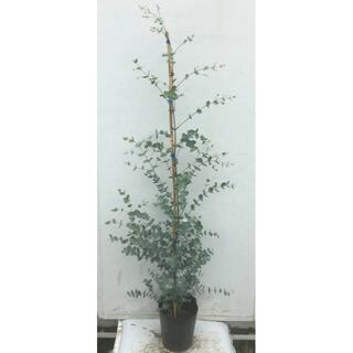 《現品》ユーカリ・グニー 樹高1.4m(鉢含まず)41【鉢/苗木/植木】(その他)