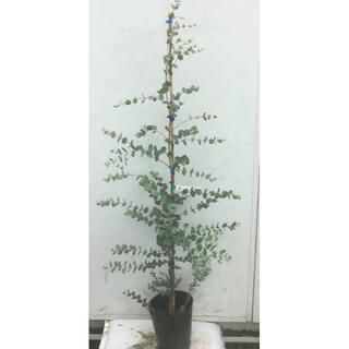 《現品》ユーカリ・グニー 樹高1.4m(鉢含まず)42【鉢/苗木/植木】(その他)