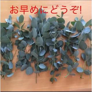 ユーカリ切り枝10本!!『新鮮な物をお届けいたします』(ドライフラワー)
