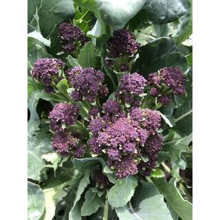 【無農薬】紫セニョーラ ネコポス(野菜)