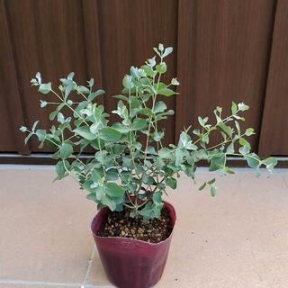 ユーカリシルバードロップ  ポット苗10 観葉植物 シンボルツリーに♪(プランター)