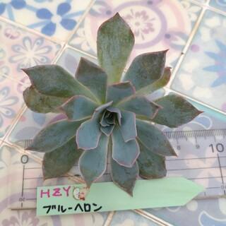【星月夜園】エケベリア ブルーヘロン 多肉植物 抜き苗(その他)