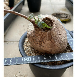 レア 塊根植物 firmiana colorata フィルミアナ ・コロラータ(その他)