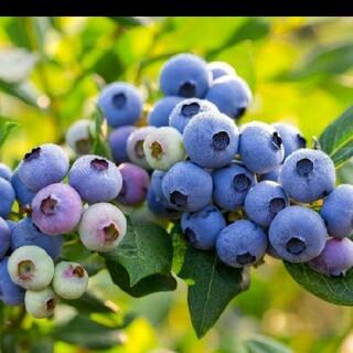 冷凍 自宅栽培 ブルーベリー(フルーツ)
