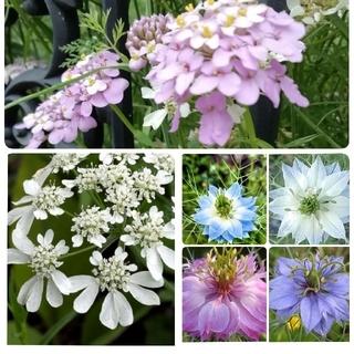 ♥花の種 オルレア ニゲラ イベリス キャンディタフト(プランター)