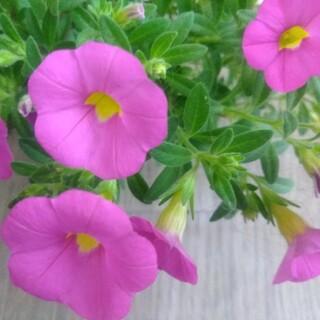 カリブラコア ピンク 4センチポット入り苗(その他)