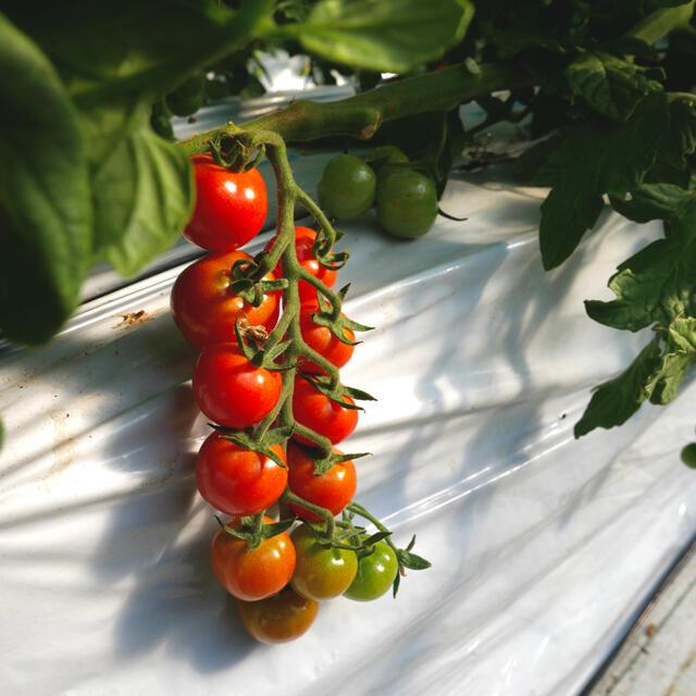 ミニトマト 1kg  [農学博士のDr.トマト] 採れたて☘️産地直送いたします 食品/飲料/酒の食品(野菜)の商品写真