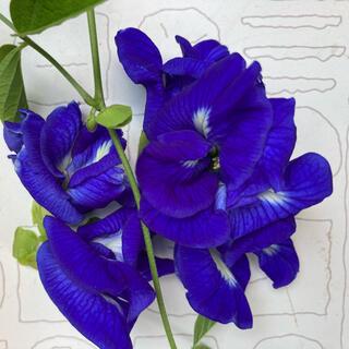 八重咲きバタフライピー 種20粒(その他)