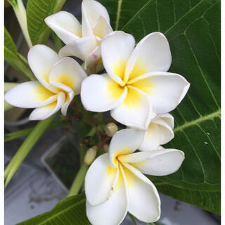 プルメリア約48㎝白ホワイト苗木挿木(その他)