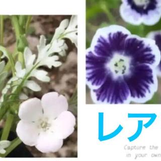 レアネモフィラの種 プラチナスノーと、ブルーベリーアイズ 計45粒(プランター)