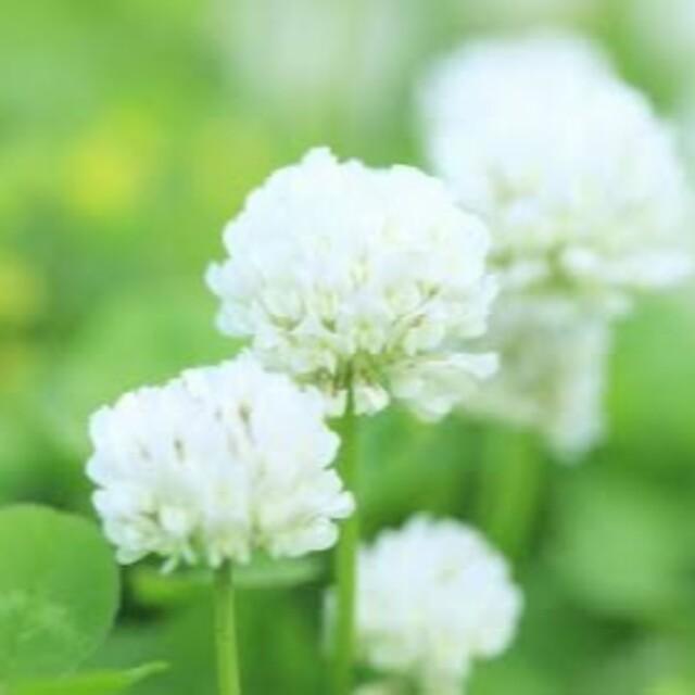 【最安値!説明書つき】ホワイトクローバー、シロツメクサの種 41g ハンドメイドのフラワー/ガーデン(その他)の商品写真