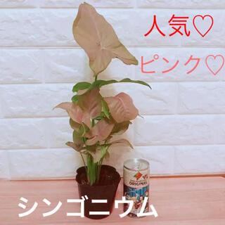 人気♡ シンゴニウム ピンク 苗 ポットごと(その他)
