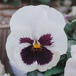 花の種      パンジー   ホワイト(その他)