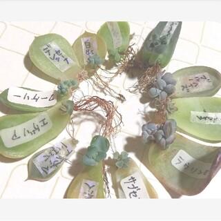 多肉植物 葉挿し 発芽(その他)