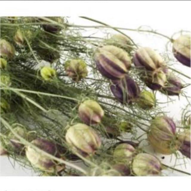 ニゲラ クロタネソウ(ブルー)*種150粒 ハンドメイドのフラワー/ガーデン(その他)の商品写真