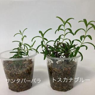 ローズマリー 苗 2種類(その他)