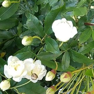 モッコウバラ 白 挿し木用カット苗 10本(プランター)