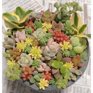 多肉植物♠ちまちま寄せ❁⃘*.゚(その他)