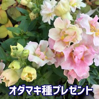 種子 キンギョソウ アップルブロッサム(その他)